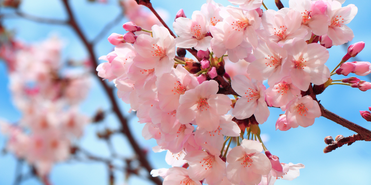Mental Wellness and Flower Phototherapy in Japan